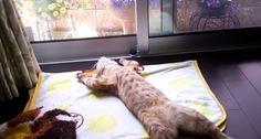 「アジの開き」ならぬ「ネコの開き」の作り方 - http://naniomo.com/archives/8397