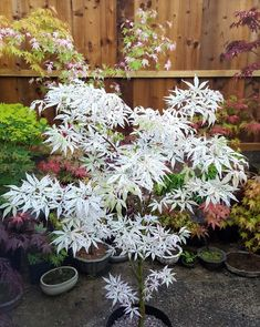 A rare pure white specimen from my collection. Common Garden Plants, Fancy Tree, Ornamental Trees, Japanese Plants, Japanese Maple Varieties, Japanese Garden Plants, Japanese Garden Design, Japanese Garden, Japanese Garden Style