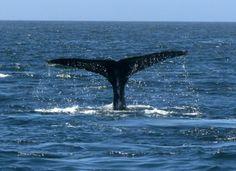 Whale fluke in Monterey Bay #whale #fluke #humpbacks