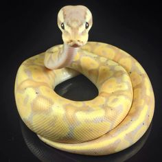Jav I I cant even handle how cute this little guy is! Pretty Snakes, Beautiful Snakes, Cute Reptiles, Reptiles And Amphibians, Ball Python Morphs, Cute Snake, Snake Venom, Python Snake, Paws And Claws