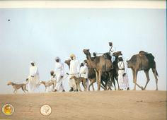 U.A.E. FALCONRY HUGE PHTOGRAPH PRINT HUNTING SCENE SALUKI DOGS CAMELS FALCONS