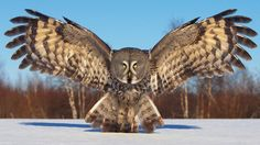 Lapland Owl (Great Grey Owl), (Strix nebulosa), photo Jari Peltomäki