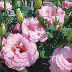 Double Lisianthus. Colors: Pink, Pale Yellow, Purple, White, Cream. Cutting Season: All Year. Price Range $$