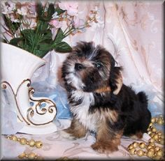 morkie puppies for sale in alabama | Zoe Fans Blog