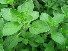 marjoram garden herb