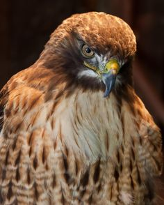 RedTailed Hawk Bird of Prey Photography by by CosmosCoolSupplies, $20.00