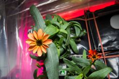 When NASA astronaut Scott Kelly announced the first zinnias blooming on the International Space Station, the project joined a long line of successful plants in space. Scott Kelly, Growing Flowers, Planting Flowers, Flowering Plants, Growing Plants, Elixir Floral, Nasa Images, Nasa Astronauts, International Space Station