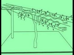 This video discusses the Modified Munson grapevine training system for table grapes grown in a temperate climate. Description from article.wn.com. I searched for this on bing.com/images