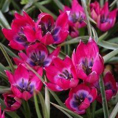 Species Tulips: Little Wonders - Botanical Tulips: Jewels of the Garden - Bob Vila