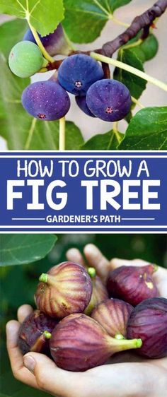 Looking for a large and fruitful tree for your landscape Consider the fig an easy to grow tall and wide specimen that rewards little attention with bushels of sweet fat a. Growing Fruit Trees, Growing Plants, Growing Vegetables, Planting Fruit Trees, Fall Vegetables, Fruit Plants, Fruit Garden, Edible Garden, Garden Plants