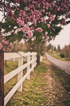 white picket fence + blossoms