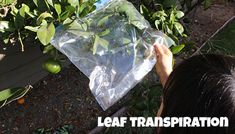 """A backyard demonstration of leaf transpiration to show how leaves give off water as they """"breathe."""""""