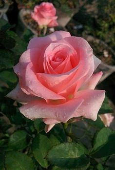 Water on the petals of flowers gives a far rural enthusiastic beauty to the flower Beautiful Flowers Wallpapers, Beautiful Rose Flowers, Pretty Flowers, Pink Roses, Pink Flowers, Most Popular Flowers, Rosa Rose, Growing Roses, Hybrid Tea Roses