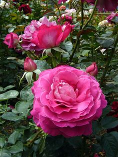 'Baronne de Rothschild' | Hybrid Tea Rose. Meilland 1968