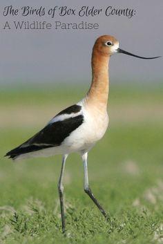 The Birds of Box Elder County - A Wildlife Paradise - Utah, USA