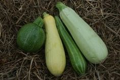 Summer Squash mix. Min of 25 seeds each. Only 2.50. includes:    Bianco di Triste,    Cocozelle di Napoli,    Tondodi Piacenza    and Early Prolific Straightneck