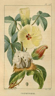 Goosypium indicum. ct. 4 - Flore médicale des Antilles, ou, Traité des plantes usuelles : - Biodiversity Heritage Library