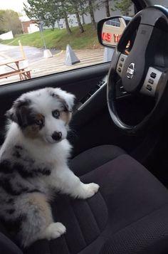 I+wish+this+Australian+Shepherd+puppy+was+my+Uber+driver