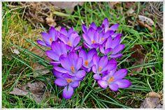#EssenReisenLeben #Frühling #Krokusse