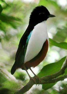 Ivory-breasted Pitta (Pitta maxima), endemic to Indonesia