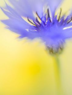 Buy Cornflower, Colour photograph (C-type) by Marco Scataglini on Artfinder. Discover thousands of other original paintings, prints, sculptures and photography from independent artists.