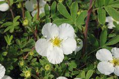 POTENTILLA fruticosa 'Abbotswood' Moon Garden, Garden, Shrubs, Plants