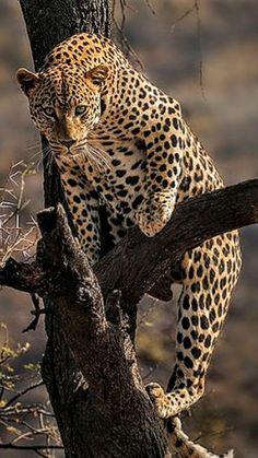 Leopards ~ (by T Dornbusch) Pretty Cats, Beautiful Cats, Animals Beautiful, Animals And Pets, Cute Animals, Panthera Pardus, Jungle Cat, Small Cat, Tier Fotos