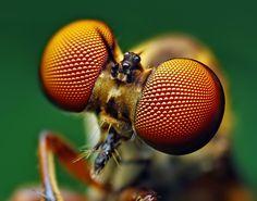 Compound Eyes of a Holocephala fusca Robber Fly photo by Thomas Shahan via Lost At E Minor