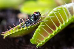 Venus flytraps can count the number of stimuli they receive to tell what kind of prey they have trapped.