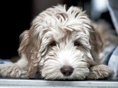 A 3 month old Australian Labradoodle which looks like it may be the lavender or parchment coat colour. Some Labradoodles can change colour - often lighten - as they get older and their coat develops.