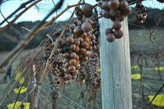 Parras de uvas