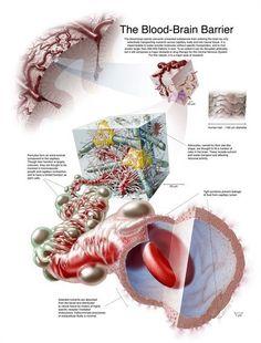 The Blood-Brain Barrier   #medical #medicine #illustration #brain #anatomy