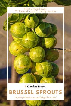 Brussel Sprouts | Fall Garden Crops To Extend Your Growing Season | Have you tried fresh homegrown roasted brussels sprouts in balsamic vinegar? Try it and you'll think no vegetable is as good as your homegrown brussels sprouts too. Easy Vegetables To Grow, Fruits And Veggies, Eating Raw, Autumn Garden, Edible Garden, Allotment, Brussels Sprouts, Balsamic Vinegar, Green Leaves