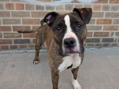 TO BE DESTROYED TUESDAY, 3/18/14 Brooklyn Center -P  My name is SAPPHIRE. My Animal ID # is A0993324. I am a female br brindle and white pit bull mix. The shelter thinks I am about 3 YEARS old.  I came in the shelter as a STRAY on 03/07/2014 from NY 11213, owner surrender reason stated was OWN EVICT. I came in with Group/Litter #K14-169965. https://www.facebook.com/photo.php?fbid=769259686420246&set=a.611290788883804.1073741851.152876678058553&type=3&theater