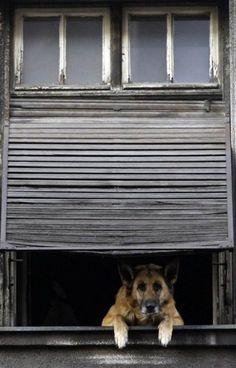 German shepherd in the window