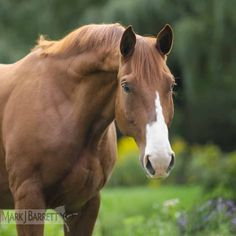 "Chestnut horse :: Oldenburg gelding ""(AJ) or Aristid"", owned by Martha Branch"