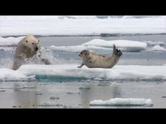 Ice Bears Expedition =================== The Nature of Things presents the world premiere of Polar Bears: A Summer Odyssey ..