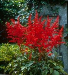astilbe.  I am thinking this would be perfect for my shady wet corner of my backyard.
