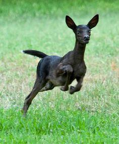 Melanistic deer