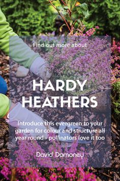 Heathers are a wonderful addition to any garden because their compact, evergreen habit makes them a staple all year round. Find out what heather can bring to your space and how to keep it growing happily. Colorful Plants, Colorful Garden, Cool Plants, Growing Onions From Seed, Growing Seeds, Vegetable Planting Calendar, Planting Vegetables, Herbaceous Perennials, Flowers Perennials