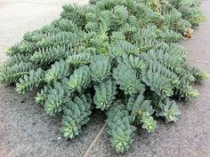 Walzen-Wolfsmilch Pflanze Euphorbia myrsinites Staude Walzenwolfsmilch Pflege Schnitt Euphorbia myrsinites Vermehrung Standort