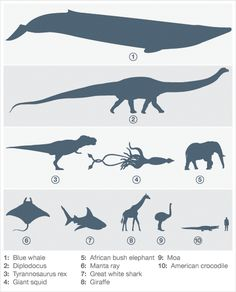 A graphic illustration of animal size in relation to humans, from largest to smallest: blue whale, Diplodocus, Tyrannosaurus re