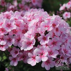 Phlox paniculata Early Light Pink -This hybrid compact selection, part of the Early Start series, blooms earlier than other traditional paniculata types -3 to 4 weeks earlier,   Produces large clusters of fragrant, light pink flowers with dark pink centres. The well branched, compact plant produces clusters of beautiful light pink, fragrant blossoms. A great choice for the landscape or containers.
