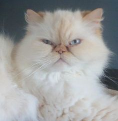 Meet Neville, an adopted Himalayan Cat, from Persian and Himalayan Cat Rescue in Poughkeepsie, NY on Petfinder. Learn more about Neville today. Himalayan Persian Cats, Himalayan Cat, Long Haired Cats, Pet Insurance, Black Smoke, 5 Year Olds, Siamese, Beautiful Cats, Cats And Kittens