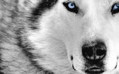 Miniature Huskies were primarily developed in Alaska to be more of the family dog when compared to its brother, the siberian husky. Check out some different pictures of a miniature husky. Tier Wallpaper, Wolf Wallpaper, Animal Wallpaper, Computer Wallpaper, Wildlife Wallpaper, Wallpaper Awesome, Wallpaper Wallpapers, Iphone Wallpaper, Beautiful Wolves
