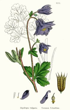 Aquilegia vulgaris illustration - circa 1863