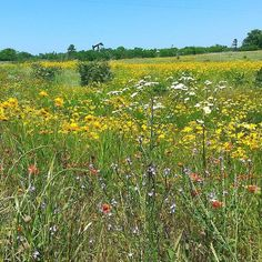 Good Morning East Texas! Wildflower season is still going strong in the Piney Woods!  Photo taken near Longview Texas by @trail_gurl.