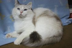 Lions Royale Polly of Pride Ragdolls - Seal Tortie Point Bicolor Ragdoll