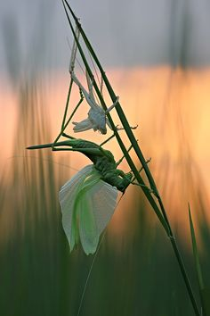 Molting Grasshopper by Vadim Trunov