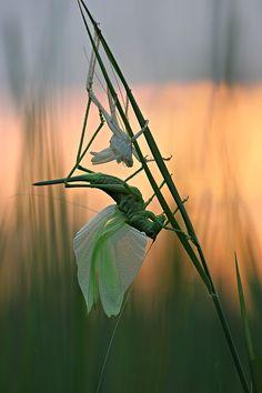 Molting Grasshopper by Vadim Trunov